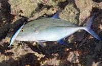 bluefin-171222.jpg