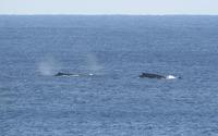 whales-190305.jpg